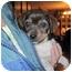 Photo 2 - Pug Mix Puppy for adoption in harrah, Oklahoma - Jumping Bean 1