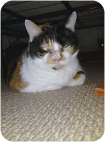 Calico Cat for adoption in Avon, New York - Sweet Pea