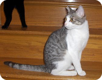 Domestic Shorthair Cat for adoption in Richmond, Virginia - Echo