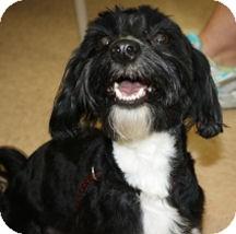 Shih Tzu/Schnauzer (Miniature) Mix Dog for adoption in Cheney, Kansas - Lucky