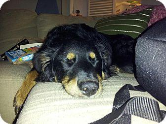 Australian Shepherd Dog for adoption in Commerce City, Colorado - Stella