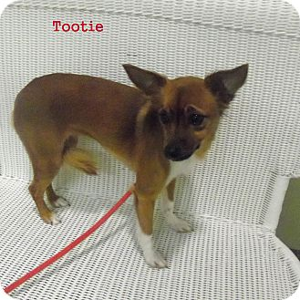 Papillon Mix Dog for adoption in Slidell, Louisiana - Tootie