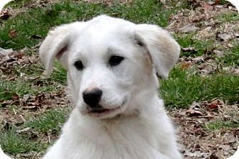 Great Pyrenees Mix Puppy for adoption in Salem, New Hampshire - PUPPY SAM