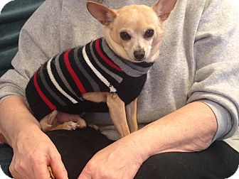 Chihuahua Mix Dog for adoption in Nashville, Tennessee - Jorge