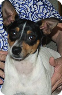 Rat Terrier Mix Dog for adoption in ST LOUIS, Missouri - Munny