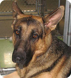 Shepherd (Unknown Type) Mix Dog for adoption in Oak Park, Illinois - Stan