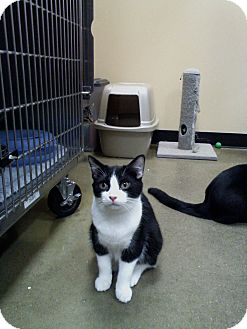 Domestic Shorthair Cat for adoption in Irwin, Pennsylvania - Sylvester