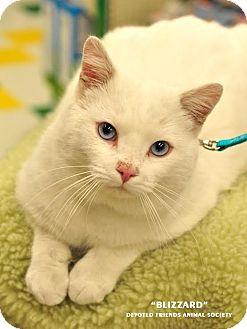 Domestic Shorthair Cat for adoption in Ortonville, Michigan - Blizzard