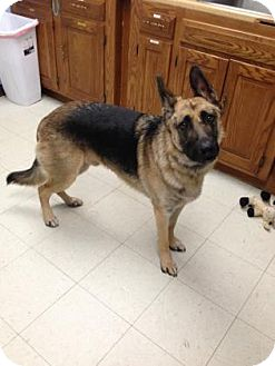 German Shepherd Dog Dog for adoption in Lowell, Massachusetts - Jerry