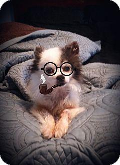 Pomeranian/Chihuahua Mix Dog for adoption in Homewood, Alabama - Poco