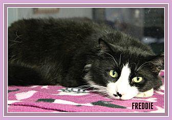 Domestic Mediumhair Cat for adoption in New Richmond,, Wisconsin - Freddie