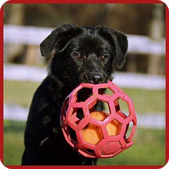 German Shepherd Dog/Golden Retriever Mix Puppy for adoption in Pleasant Plain, Ohio - Eiko