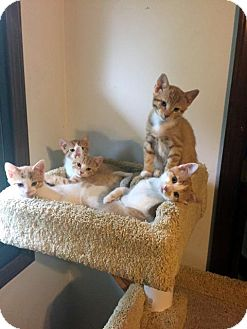 Domestic Shorthair Kitten for adoption in Overland Park, Kansas - Fab Five