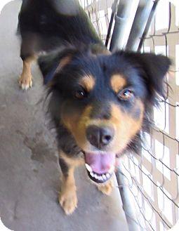 Collie/Shepherd (Unknown Type) Mix Dog for adoption in Edisto Island, South Carolina - Flora