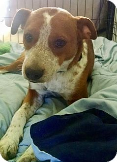 Boxer/English Springer Spaniel Mix Puppy for adoption in HAGGERSTOWN, Maryland - SCOUT