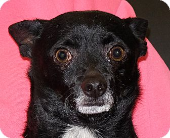 Chihuahua Mix Dog for adoption in Spokane, Washington - Tucker