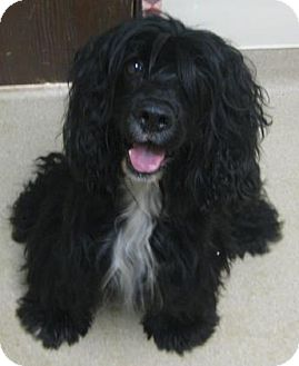 Cocker Spaniel Mix Dog for adoption in Gary, Indiana - Joe