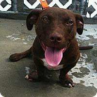 Adopt A Pet :: Milo - Edisto Island, SC