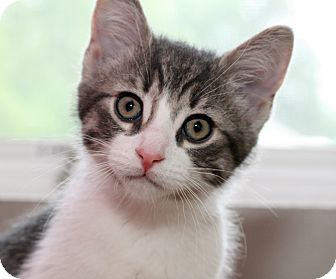 Domestic Shorthair Kitten for adoption in Royal Oak, Michigan - PO