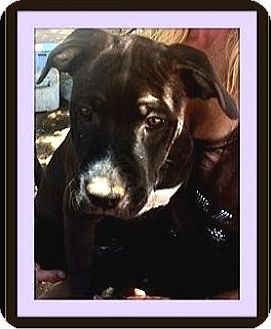 Pit Bull Terrier Puppy for adoption in Rancho Cucamonga, California - TigerLily
