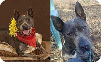 American Pit Bull Terrier/Cattle Dog Mix Dog for adoption in Flint, Michigan - Brenda