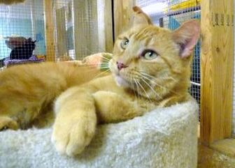 Domestic Shorthair/Domestic Shorthair Mix Cat for adoption in Westville, Indiana - Toby II