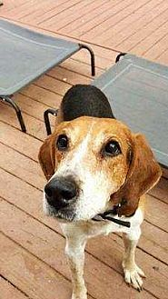 Treeing Walker Coonhound Dog for adoption in Youngsville, North Carolina - George Clooney ~Sponsored Fee~
