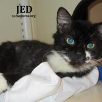 Domestic Shorthair/Domestic Shorthair Mix Cat for adoption in Elizabeth City, North Carolina - Jed