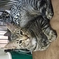 Adopt A Pet :: Pugsley- McDowell - Asheville, NC