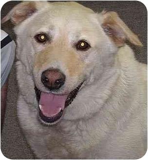 Labrador Retriever Mix Dog for adoption in Evergreen, Colorado - Harrison