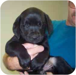 Labrador Retriever Mix Puppy for adoption in Bel Air, Maryland - 6 Puppies