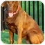 Photo 2 - Labrador Retriever Dog for adoption in Pawling, New York - DAISY