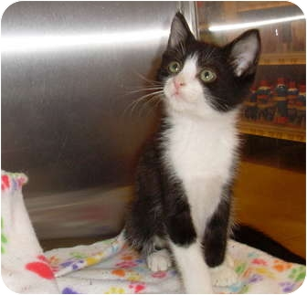 Domestic Shorthair Kitten for adoption in West Palm Beach, Florida - FRANKIE