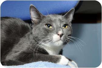 Domestic Shorthair Cat for adoption in New York, New York - Lola