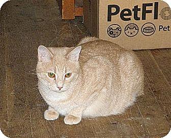 Domestic Shorthair Cat for adoption in Rochester, Michigan - Buffy Boy