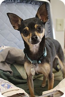 Chihuahua/Terrier (Unknown Type, Small) Mix Dog for adoption in Nashville, Tennessee - Jack