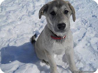 Husky Mix Puppy for adoption in Morden, Manitoba - Tug