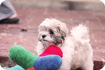 Shih Tzu/Poodle (Toy or Tea Cup) Mix Puppy for adoption in Austin, Texas - Tock