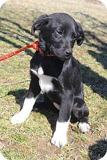 Labrador Retriever/Retriever (Unknown Type) Mix Puppy for adoption in Bedminster, New Jersey - Ariel