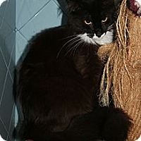 Domestic Longhair Cat for adoption in Santa Rosa, California - Mistletoe