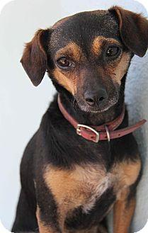 Dachshund/Chihuahua Mix Dog for adoption in Yuba City, California - Sasha