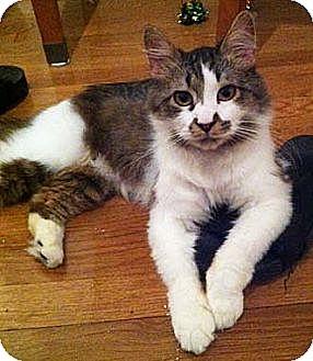 Norwegian Forest Cat Cat for adoption in Merrifield, Virginia - Merlin