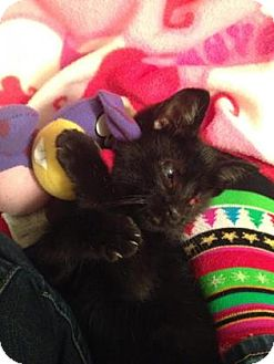 Domestic Shorthair Kitten for adoption in Reisterstown, Maryland - Sparrow