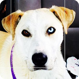 Labrador Retriever/Siberian Husky Mix Dog for adoption in Greenfield, Wisconsin - Zen