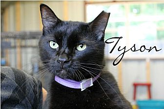 Domestic Mediumhair Cat for adoption in Wichita Falls, Texas - Tyson