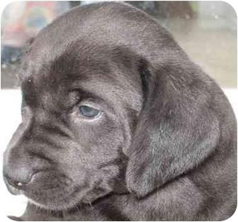 Golden Retriever/Labrador Retriever Mix Puppy for adoption in Wamego, Kansas - Annabell