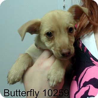 Chihuahua/Feist Mix Puppy for adoption in Greencastle, North Carolina - Butterfly