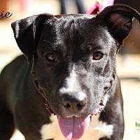 Labrador Retriever Mix Dog for adoption in Alpharetta, Georgia - Trixie