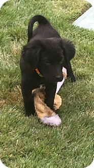 German Shepherd Dog/Cocker Spaniel Mix Puppy for adoption in Brattleboro, Vermont - Grace
