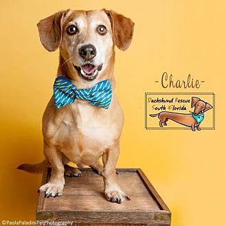Dachshund Mix Dog for adoption in Weston, Florida - Charlie